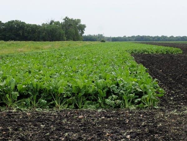 Sugar beet plants in a field