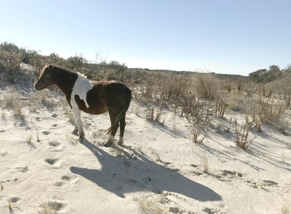 A wild horse at Assateague Island National Seashore in Maryland.