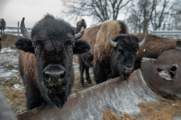 Two bison eat out of a trough.