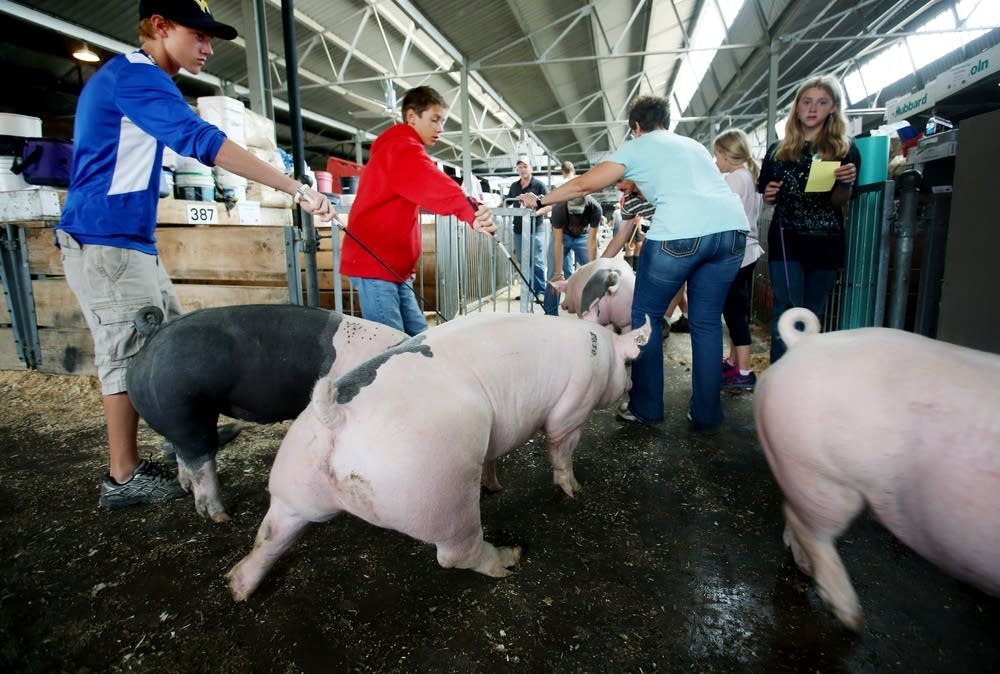 Guiding pigs