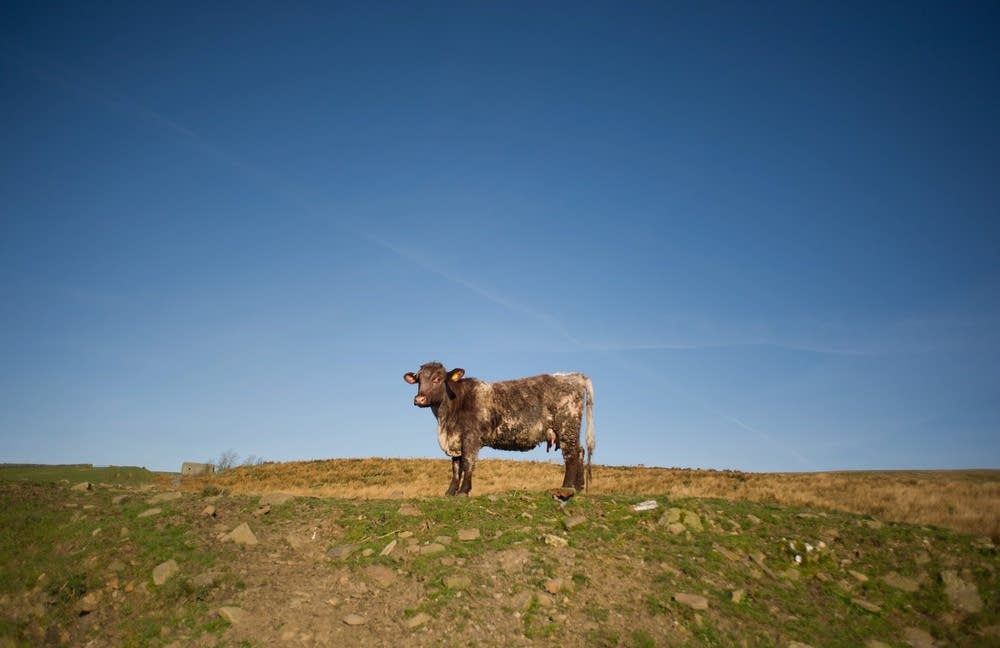Cow waiting for feed