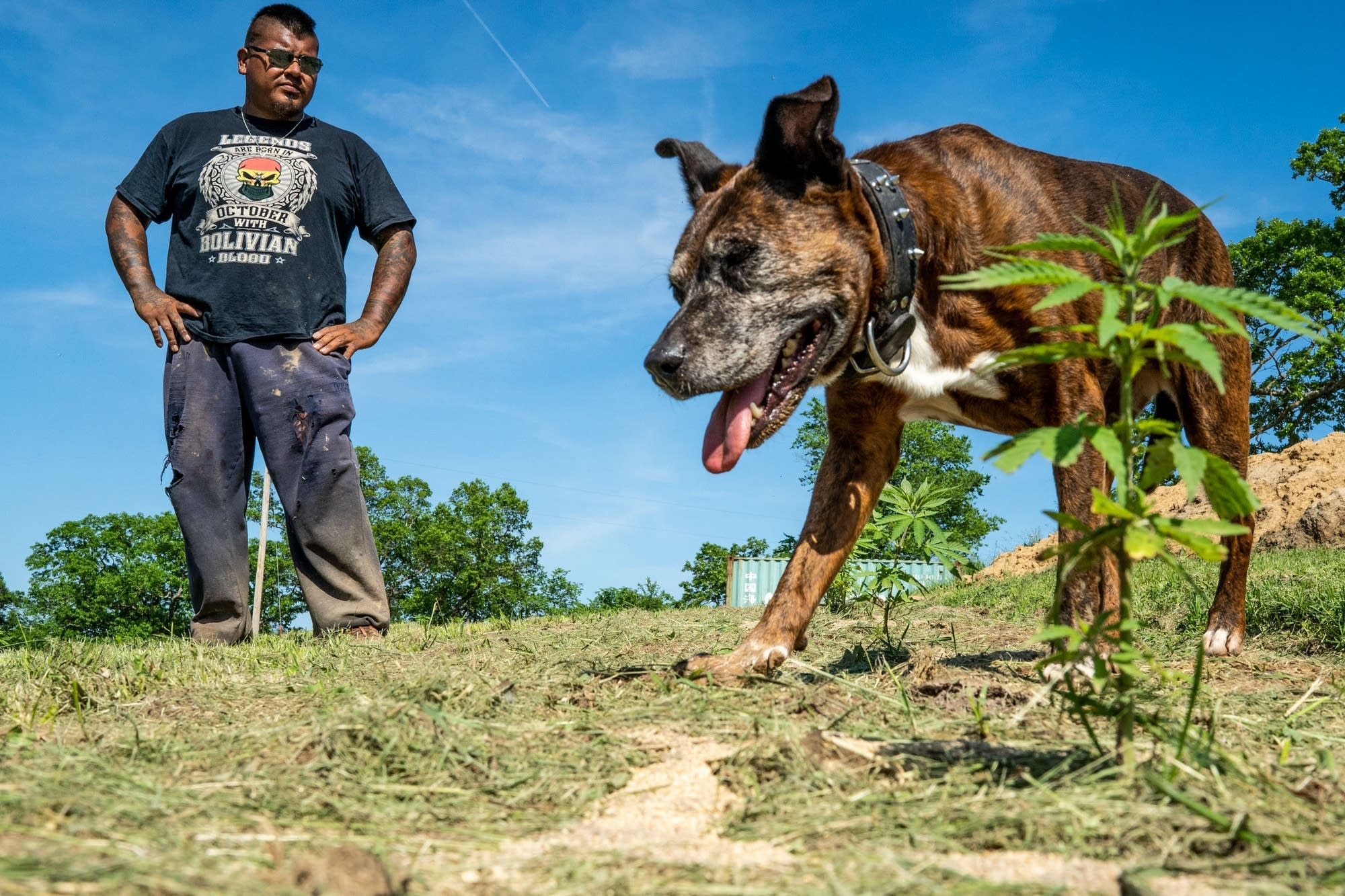 Luis Miguel Hummel walks his fields of hemp plants with one of his 4 dogs.