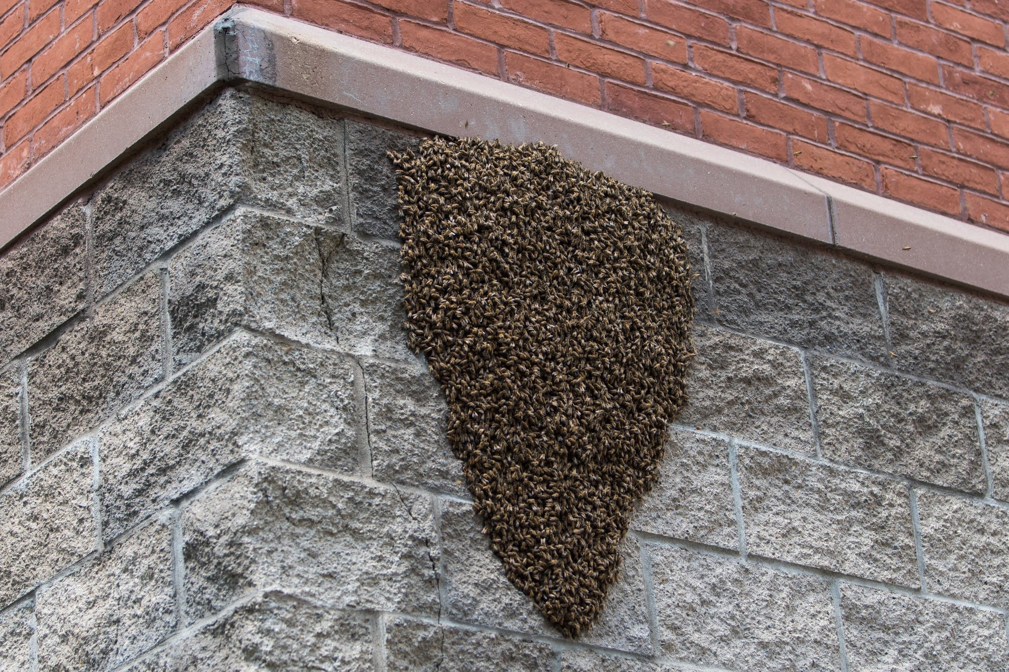 Honey bees swarm together on a wall.