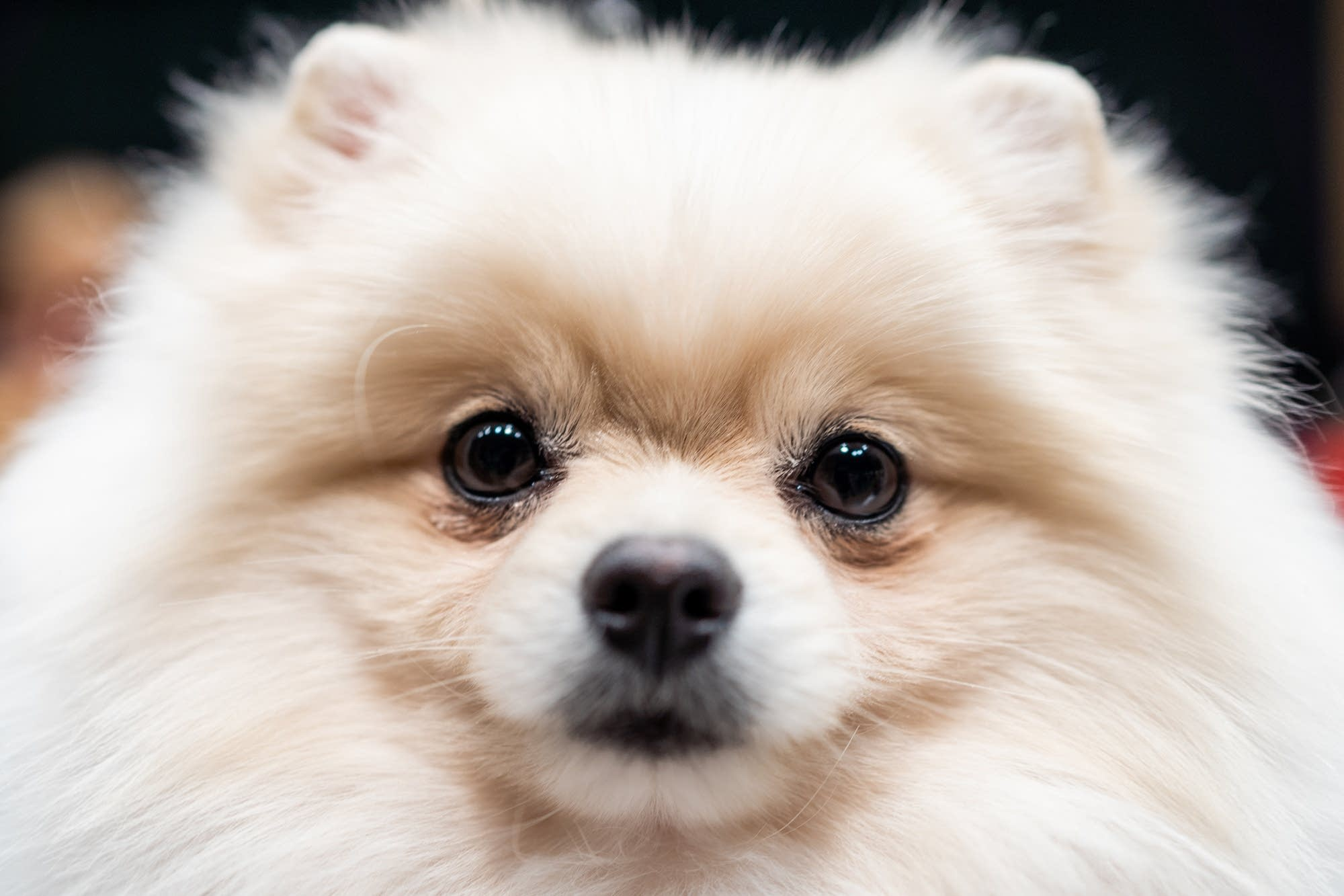 Lakota, a pomeranian, looks at the camera.