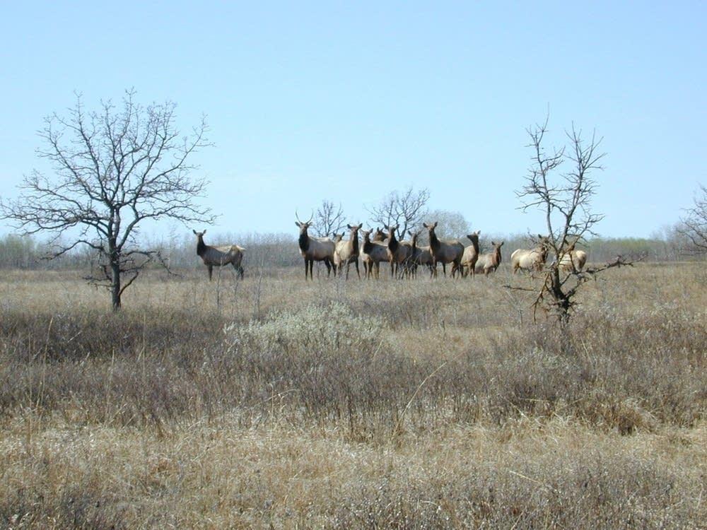 Minnesota wild Elk