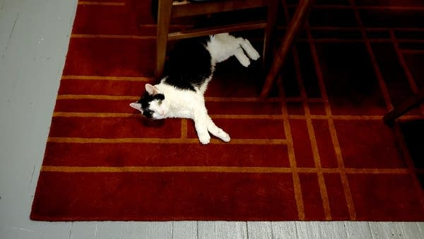 Black and white cat lying on red office rug bc it's very hot