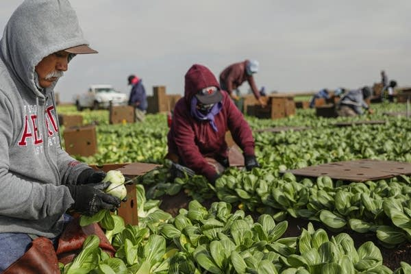 Farmworkers pick bokchoy in a field