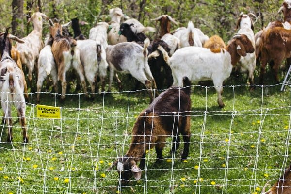 Goats munch on weeds behind an electric fence.