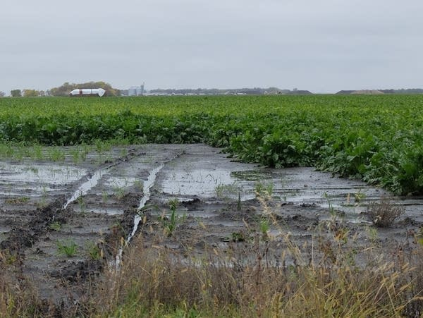 water standing on a muddy sugar beet field