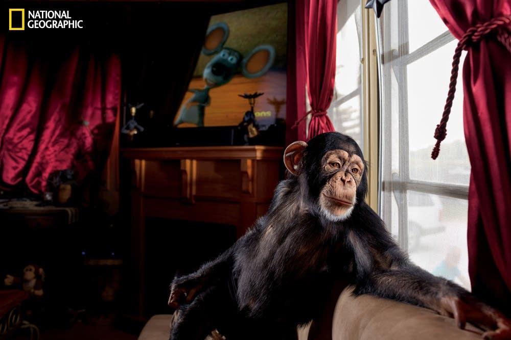Chance the chimp