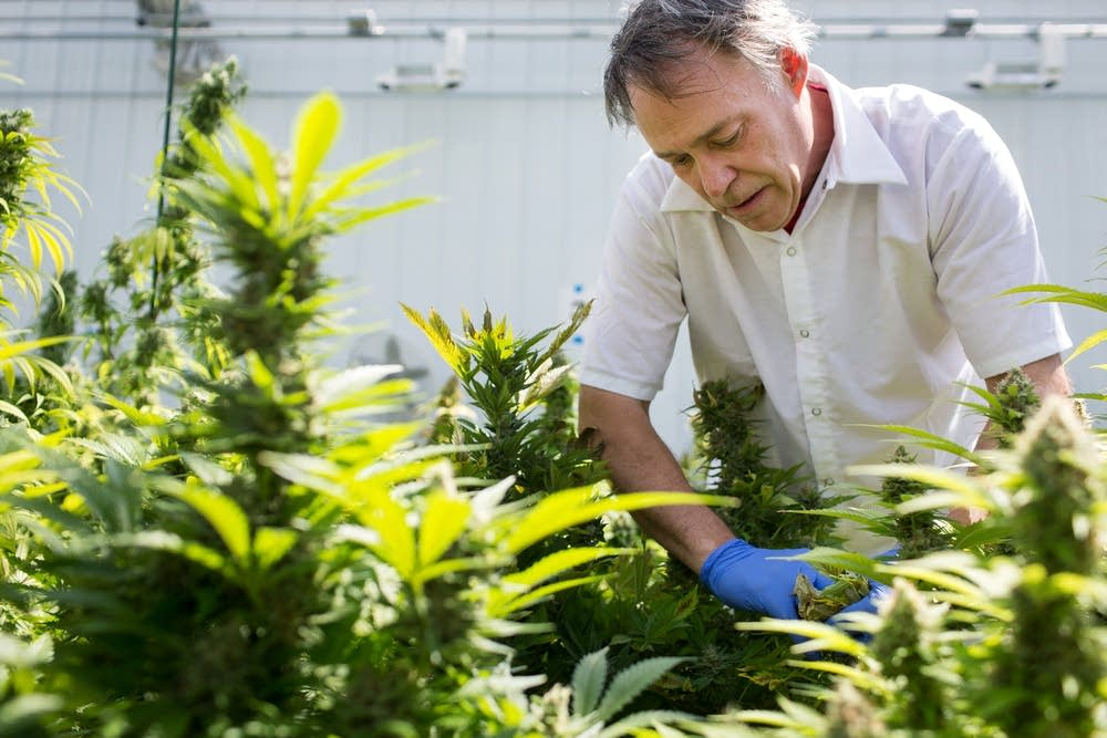 Tending to medical marijuana plants