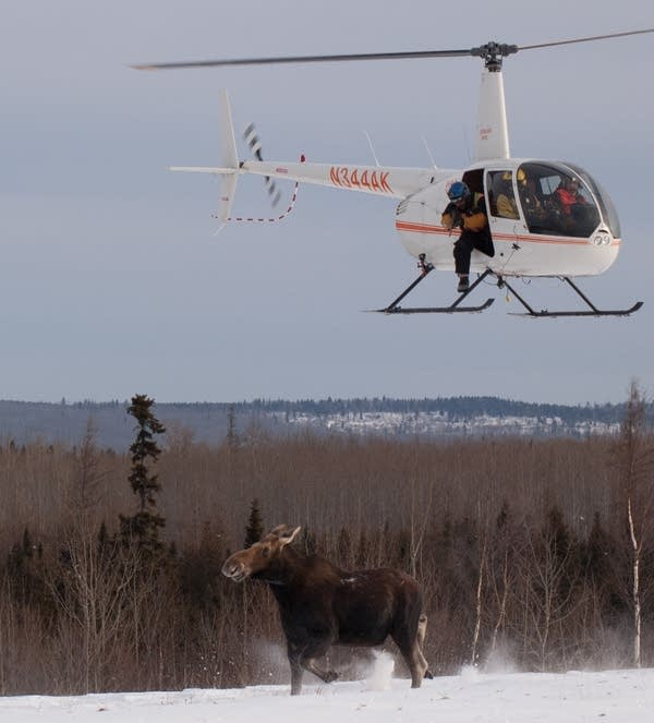 Tranquilizing the moose
