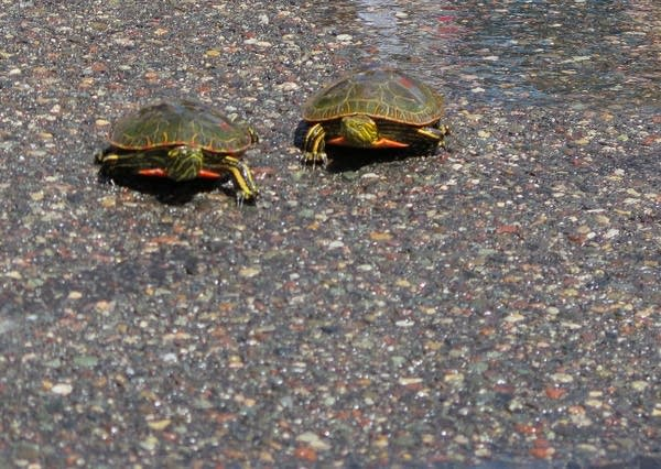 Turtles cross the track at the Nisswa turtle races.