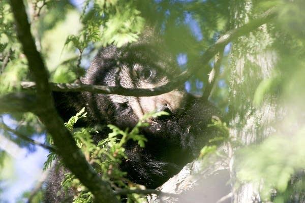 Bear cub Hope