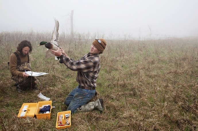 Releasing a mallard