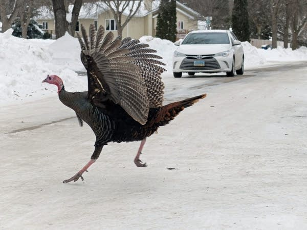 A wild turkey rushes across a street in front of a car