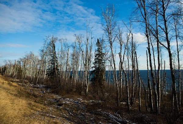 Dead and dying birch trees