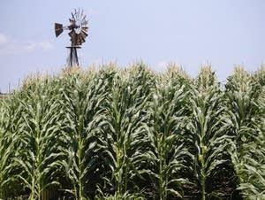 A field of corn grows in Iowa