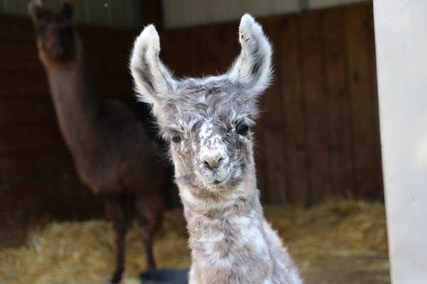 A baby llama looks into the camera