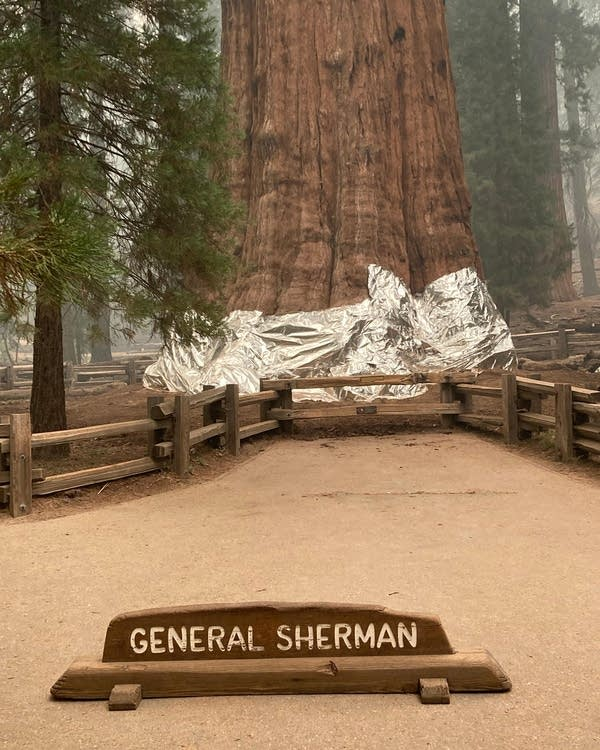 A giant sequoia is wrapped in protective foil