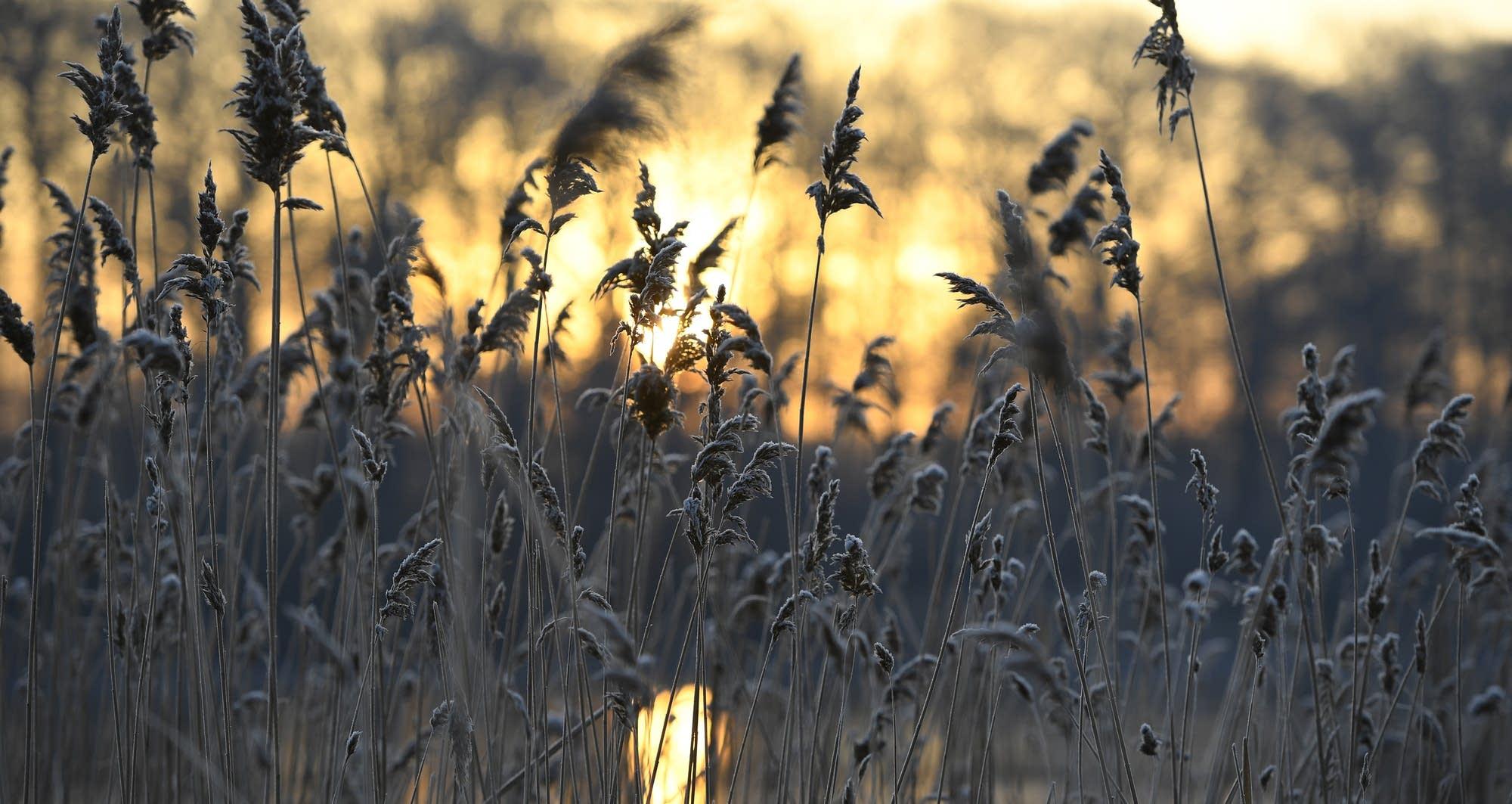 Frost covers common reeds (phragmites australis).