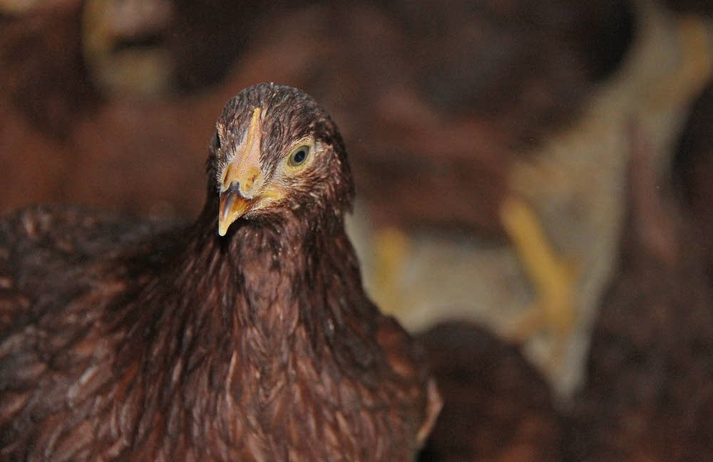 Chickens were under quarantine in Swift County.