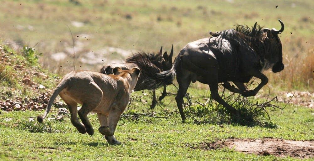 Serengeti takedown