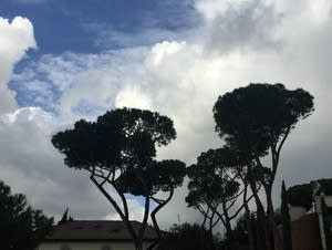 Umbrella pines grow in and around Rome.