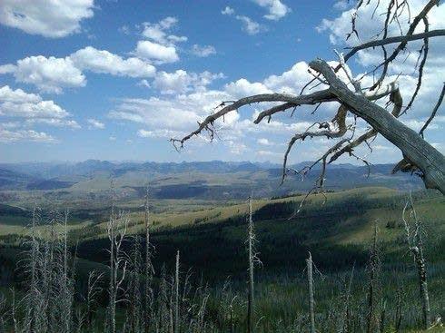 Yellowstone dead trees Mt. Washburn
