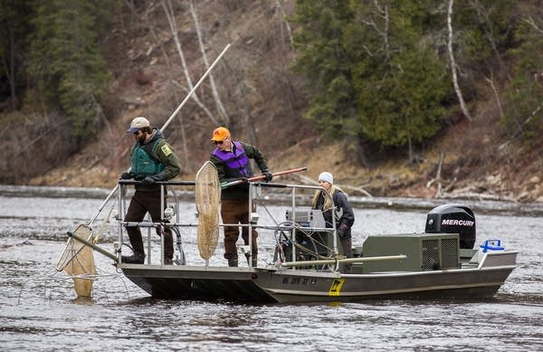 Fisheries specialists scan the water for sturgeon.