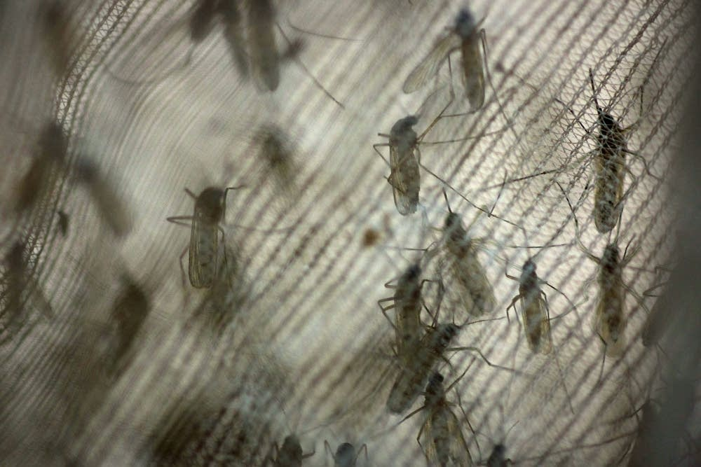 Trapped mosquitoes