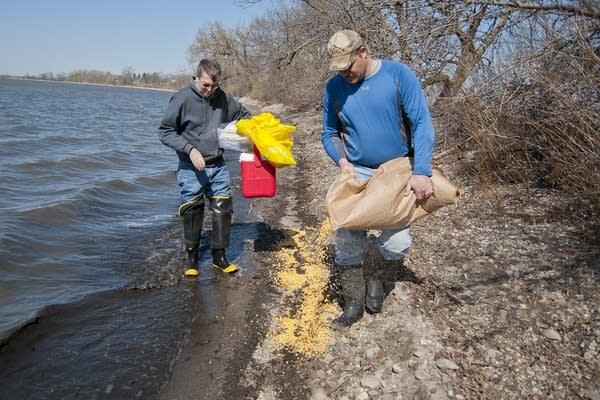Kent Schaap spread corn to bait migratory birds.
