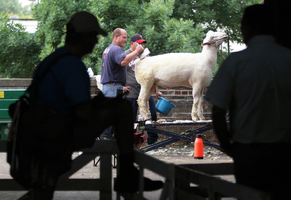 Brushing a sheep