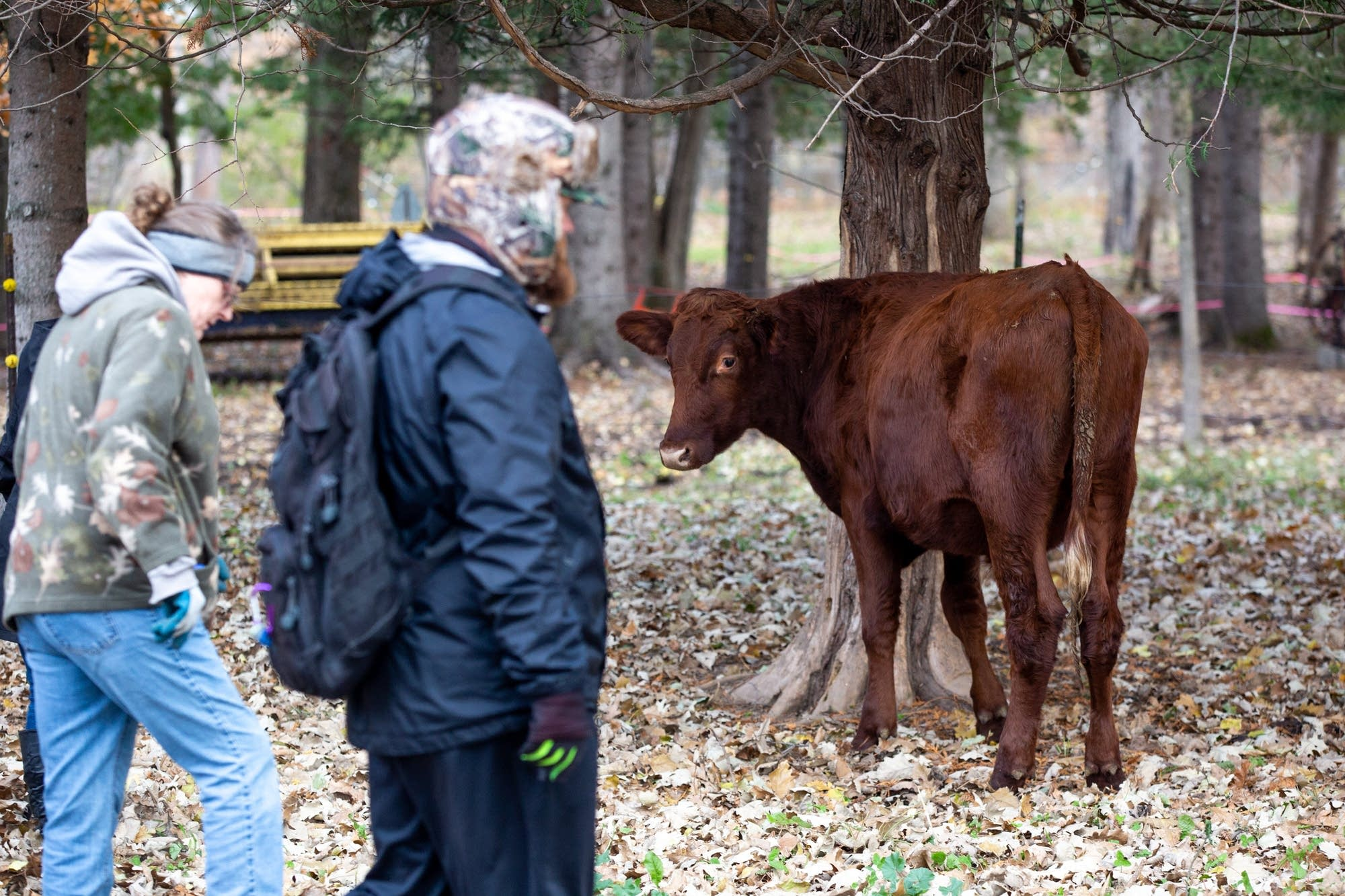 A cow looks at volunteers as they search the pasture.