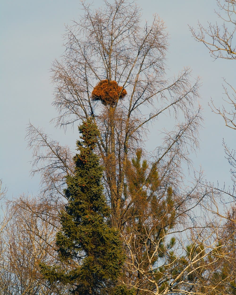 Plant fanatics climb up trees hunting for 'witch's brooms