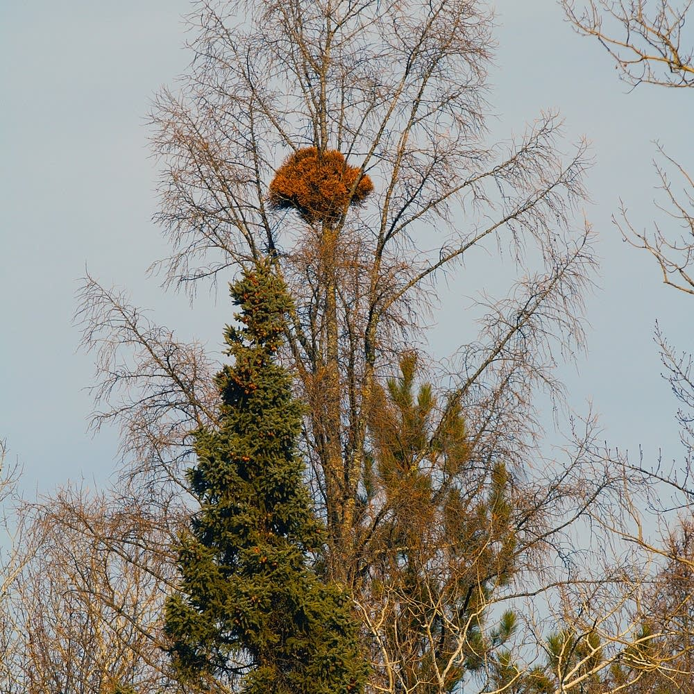 Plant fanatics climb up trees hunting for 'witch's brooms' | MPR News