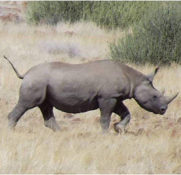 Sota the rhino