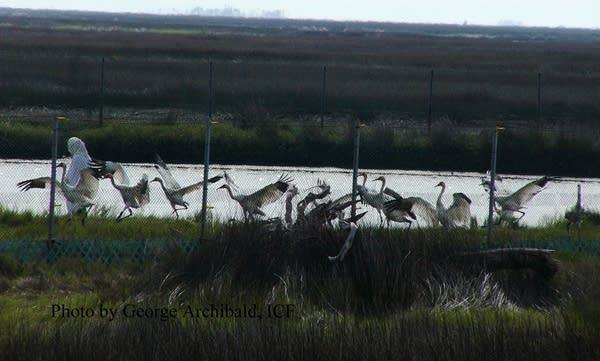 Cranes in Florida