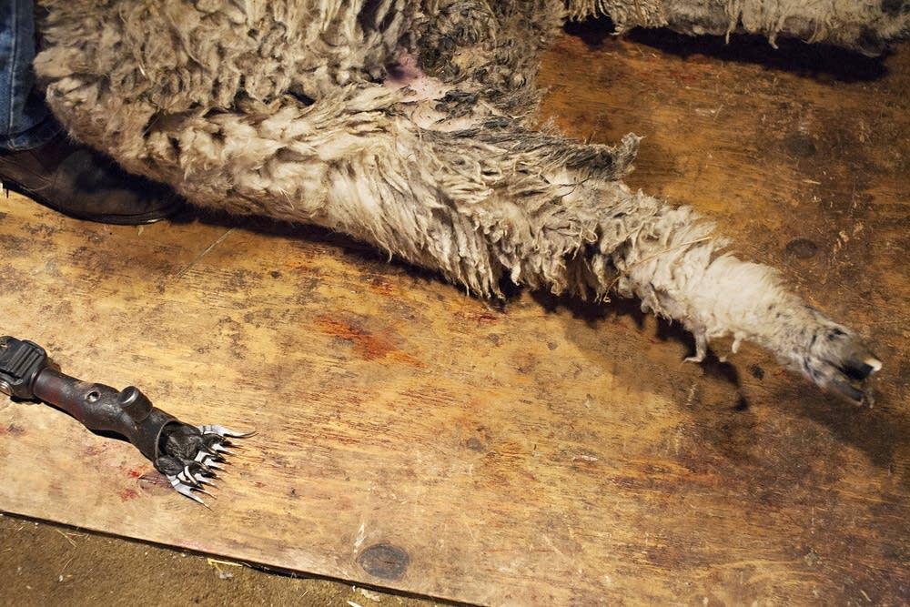 A sheep shearer's tool