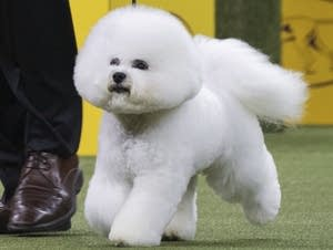 Flynn, a bichon frise, won the Westminster Kennel Club Dog Show.