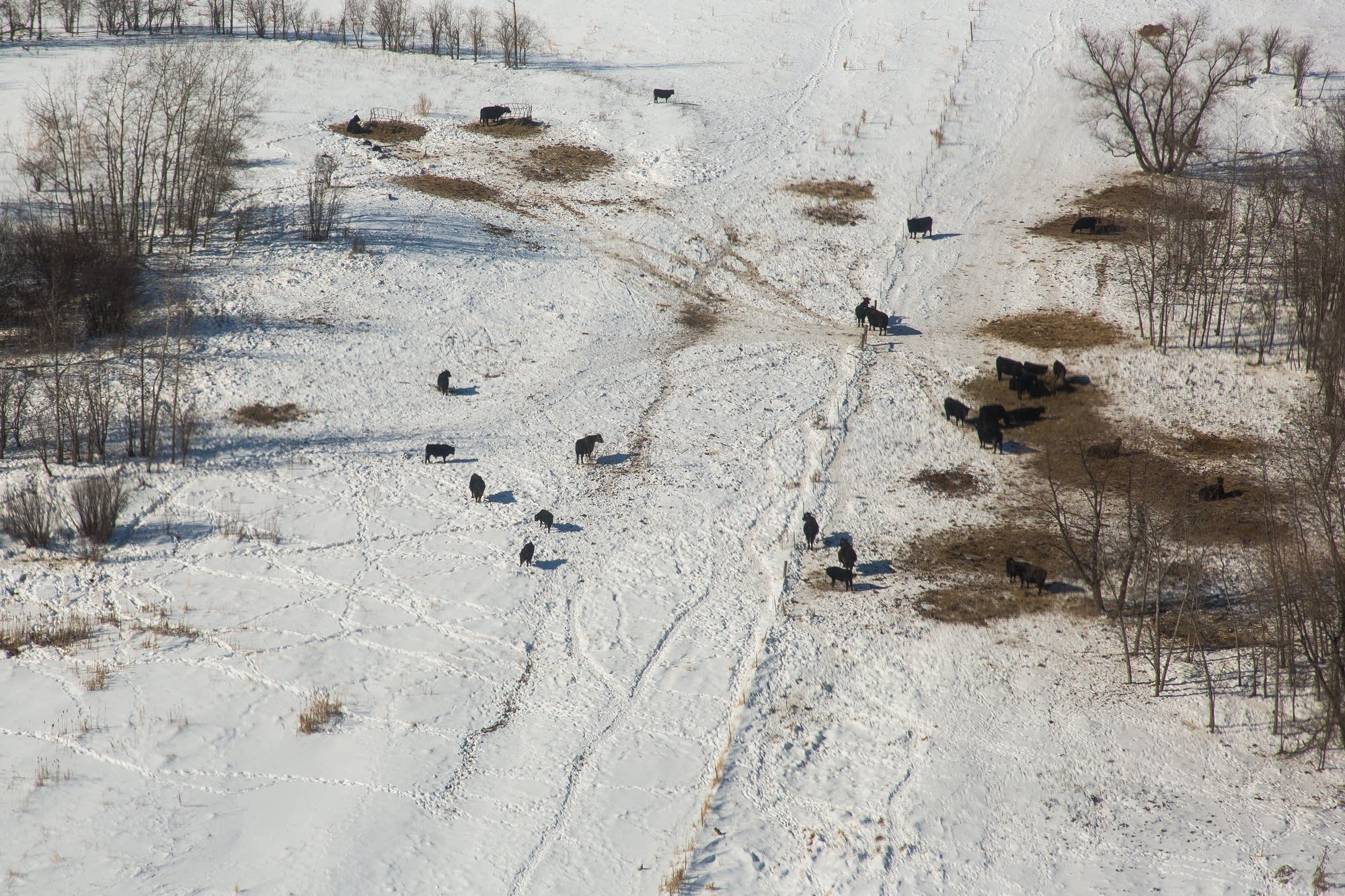 Cattle graze over a section where Enbridge's Line 3 is buried.