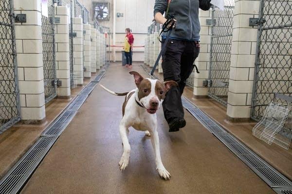 A dog pulls on a leash.