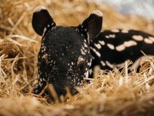 A 1-month-old tapir calf at the Minnesota Zoo.