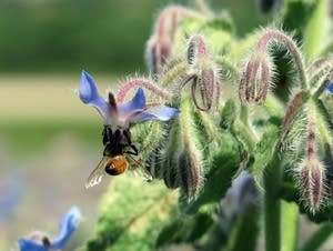 A bee hangs upside down to feed on borage.