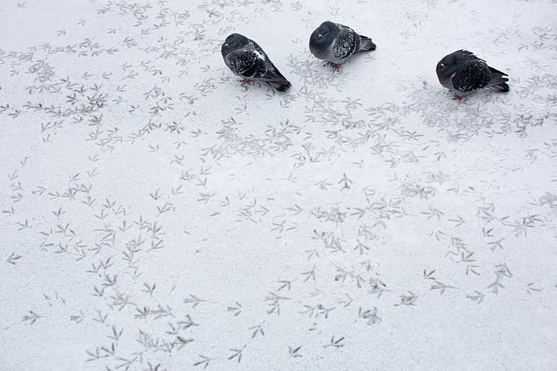 1110 js pigeons