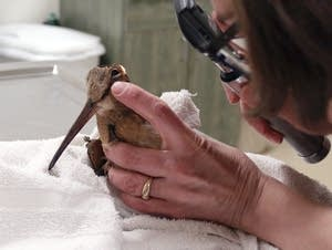 A vet examines a woodcock.