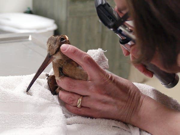 A vet examines a woodcock.