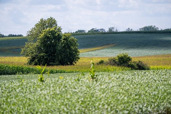 Green corn and soybean plants as far as the eye can see.