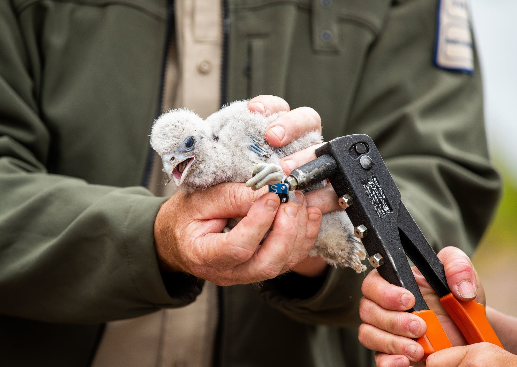 Jackie Fallon applies a band to the leg of a peregrine falcon chick.