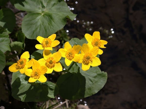 Marsh marigold flowers bloom along a small stream
